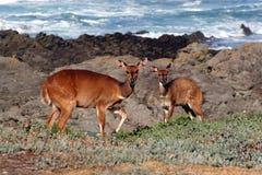 条纹羚羊产犊 库存图片