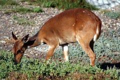 条纹羚羊 免版税库存照片
