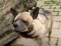 条纹鬣狗 库存照片
