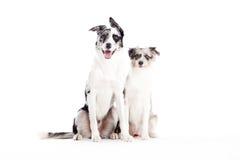 2条蓝色merle狗看 图库摄影