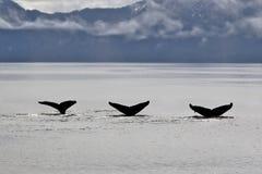 3条驼背鲸尾巴 免版税库存图片