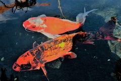 2条Koi鱼 免版税库存图片