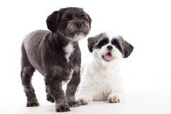 2条shi tzu狗在演播室 免版税图库摄影