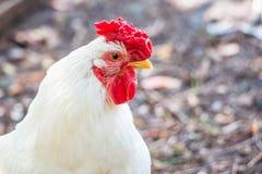 来克亨鸡品种的白色公鸡在一个农场的在一个夏天晴天, 免版税库存图片