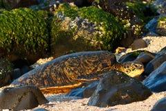 来岸上在Hookipa海滩的海龟 库存图片
