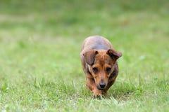 来往照相机的小犬座 免版税图库摄影
