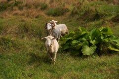 来往观察者的三只白色好奇绵羊 免版税库存图片