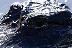 来的美洲鳄调查我们 库存照片