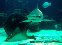 来的鲨鱼 免版税图库摄影