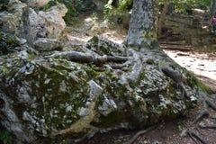 来自一个巨型的岩石的树 库存图片