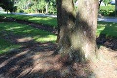 来自下来MITS树的灰鼠 免版税库存照片