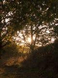 来通过树的太阳设置叶子秋天黄色金黄flo 免版税库存照片