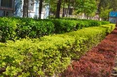 黄杨属和其他多彩多姿的灌木 免版税库存图片