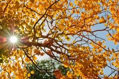 杨属在秋天 免版税库存图片