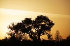 杨属树的黑阴影在日落的 图库摄影