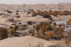 杨属euphratica森林在沙漠 免版税图库摄影