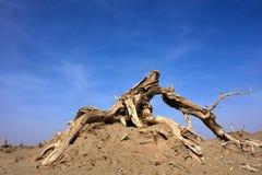 杨属euphratica森林死亡,有蓝天的 免版税库存照片