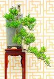 黄杨属sinica盆景植物 免版税库存照片
