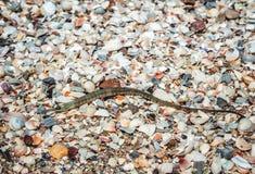 杨枝鱼被洗涤的astrand 免版税图库摄影