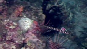 杨枝鱼halicampus水下在野生生物菲律宾海洋  股票视频
