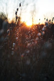 杨柳分支与在日落的光芒的芽 图库摄影