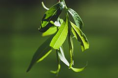 杨柳叶子宏指令在春天期间的由太阳在背景中突出了在中午12点,与强的绿色bokeh 免版税图库摄影