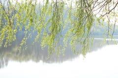 杨柳和河 在水上的杨柳分支 免版税图库摄影