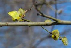 杨柳和第一春天黄色蝴蝶的一根开花的枝杈 春天蝴蝶坐棕榈芽 免版税库存图片