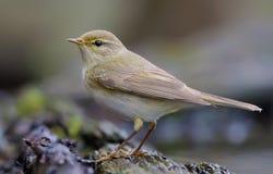 杨柳在一waterpond附近的鸣鸟身分在春天全身羽毛 免版税库存图片