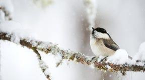杨柳山雀在冬天 免版税库存图片