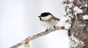 杨柳山雀在冬天 图库摄影