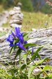 杨柳植物Gentiana asclepiadea 免版税库存图片