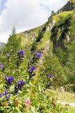杨柳植物Gentiana asclepiadea 库存照片