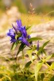 杨柳植物Gentiana asclepiadea 免版税库存照片