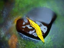 从杨柳的残破的叶子在玄武岩石头在河 免版税库存照片