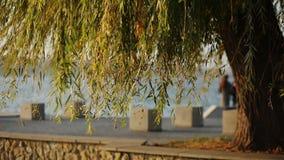 杨柳移动的分支看法在池塘背景的 股票视频