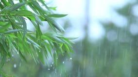 杨柳绿色叶子在分支的在一场重的阵雨期间下雨与微风 领域的浅深度,被定调子的录影 股票视频