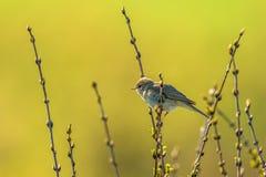 杨柳鸣鸟在春天 免版税库存图片
