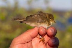 杨柳鸣鸟, Phylloscopus trochilus,鸟在鸟条带的一只妇女手上 库存图片