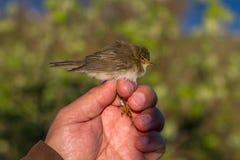 杨柳鸣鸟, Phylloscopus trochilus,鸟在鸟条带的一只妇女手上 免版税库存图片