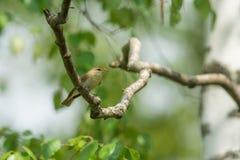 杨柳鸣鸟 免版税库存照片