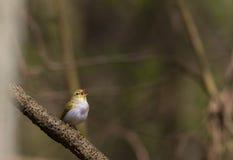 杨柳鸣鸟Phylloscopus trochilus在春天 库存照片