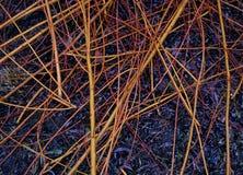 杨柳,紫皮柳树由pruner切开了在庭院里 免版税库存图片