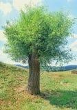 杨柳绿色树,淡黄色,紫皮柳树的形式类柳属,画象 免版税库存图片