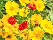 水杨梅属和金鸡菊,特写镜头明亮的花  库存图片