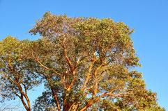 杨梅结构树 免版税库存照片