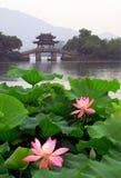 杭州西方湖的莲花 免版税图库摄影