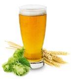 杯新鲜的啤酒用绿色被隔绝的大麦的蛇麻草和耳朵 免版税库存照片