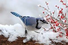 杰伊用冬天莓果 免版税库存图片