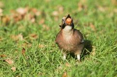 杰伊Garrulus glandarius在与橡子的草栖息在它的额嘴 它在冬天收集坚果存放 免版税图库摄影